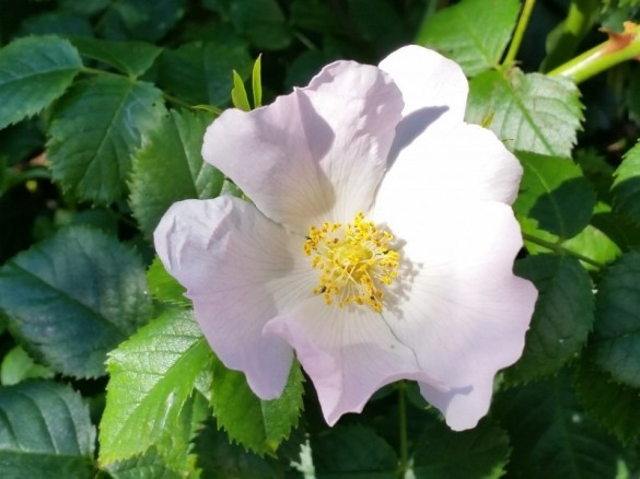 Photo credit: 'Wild rose' - Foter.com / CCO