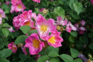 Photo credit: 'Wild rose' - Foter.com / CCO