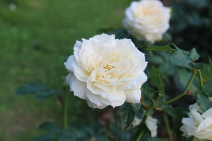 Photo credit: 'White rose' - Foter.com / CCO