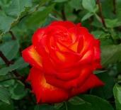 Photo credit: 'rose' - kkimpel via Foter.com / CC BY Original image URL: https://www.flickr.com/photos/kkimpel/5650947963/