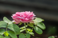 Photo credit: 'Small pink rose' - Lorenzoclick via Foter.com / CC BY-NC Original image URL: https://www.flickr.com/photos/lorenzoclick/9429750398/