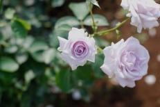 Photo credit: 'lavender' - microwalrus via Foter.com / CC BY-NC Original image URL: https://www.flickr.com/photos/tit-tit/3569546109/