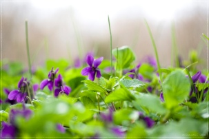 Photo credit: 'Violets Carpet' Roberto F via Foter.com / CC BY-NC Original image URL: https://www.flickr.com/photos/robfon/2336636957