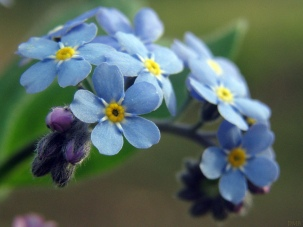 Photo credit: 'Forget-me-not' dawnzy58 via Foter.com / CC BY-NC-ND Original image URL: https://www.flickr.com/photos/dawnzy/141494618