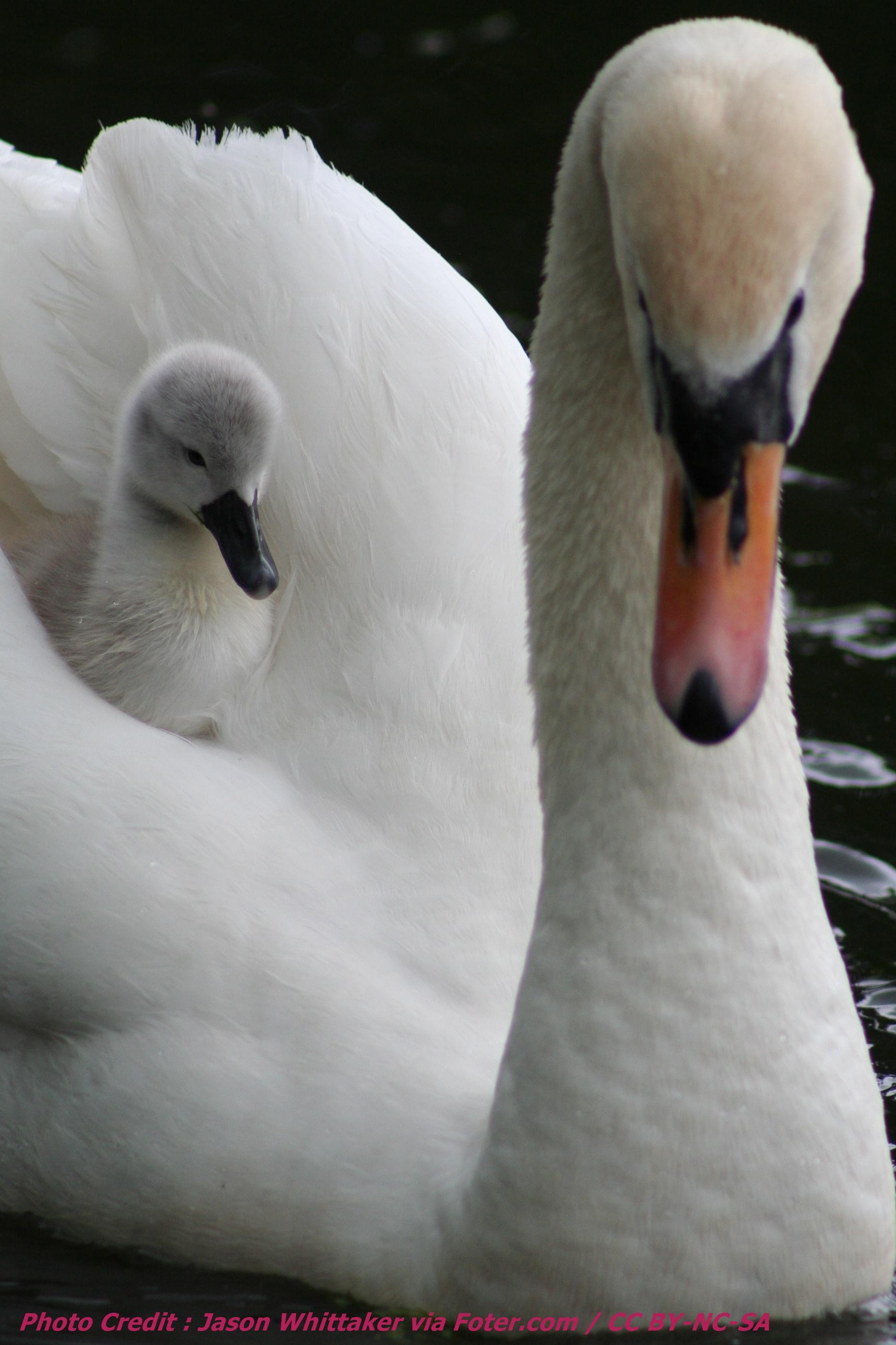 swan ferry