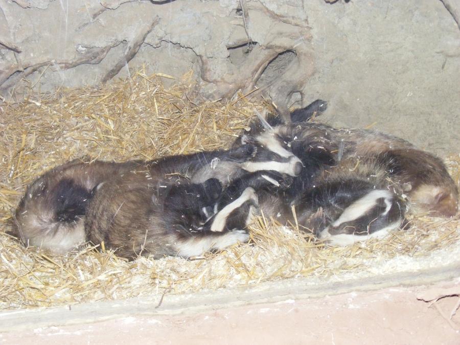 badger 12