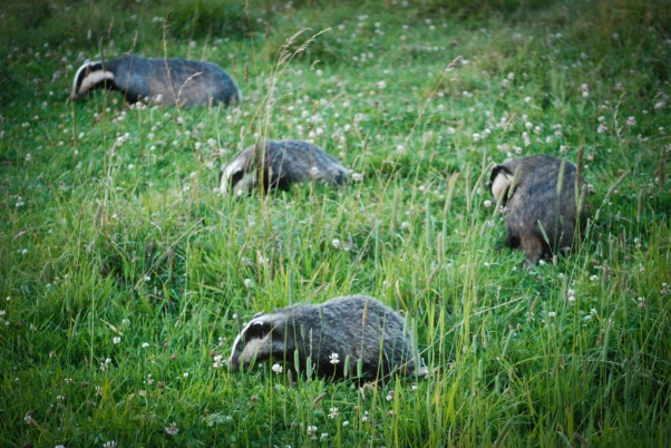 Badger(s) Mr Ush via Foter.com / CC BY-NC-SA Original image URL: https://www.flickr.com/photos/ush/5948335456/