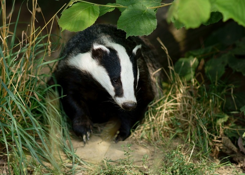 badger 9