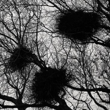 Mistletoes x1klima via Foter.com / CC BY-ND Original image URL: https://www.flickr.com/photos/x1klima/16043993256/