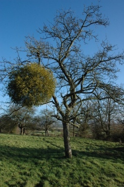 Apple tree with mistletoe, Apperley Philip Halling :: Geograph...
