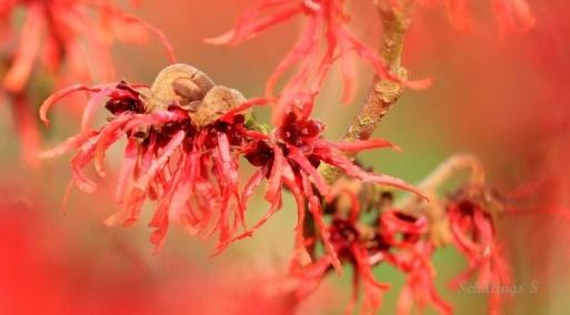 Hamamelis (fleurit en hiver) Ottignies via Foter.com / CC BY-NC-ND Original image URL: https://www.flickr.com/photos/schillings-serge/8399313370/