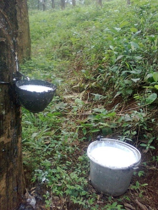 Tapped rubber tree - Image credit: Irvin calicut CC BY-SA 3.0