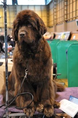 Newfoundland dog at Crufts - image courtesy www.petful.com