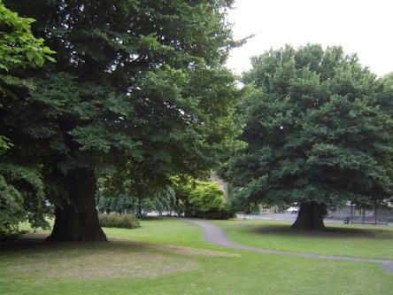 'The Preston Twins', Brighton - the oldest known English elms - Image credit : Ulmus Man CC BY-SA 3.0