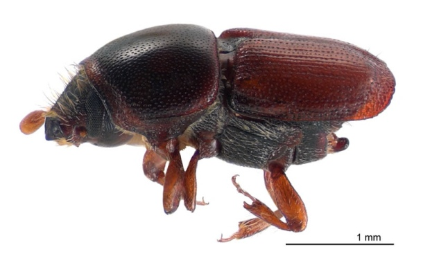 Scolytus multistriatus - European elm bark beetle - Image credit : Landcare Research New Zealand Ltd - CC BY 4.0